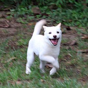 極小豆柴母犬 ハッピちゃんの子02